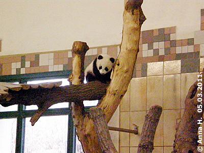 Nein, das sit nicht Fu Long, sondern Baby Fu Hu! 5. März 2011