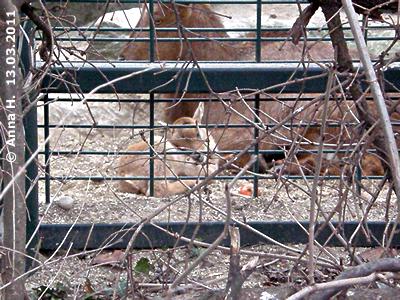 Mähnenspringer-Baby, wenige Stunden alt, 13. März 2011