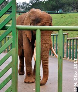 Nach dem Training genießt auch ein Elefantenbulle seine Belohnung, Pambo in Spanien, 22. Februar 2011