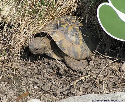 Griechische Landschildkröte, 29. März 2011