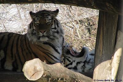 Diskussion unter den Tigermädls, 29. März 2011