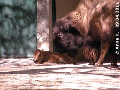 Bison-Baby, wenige Stunden alt, mit Mama Resi, 9. April 2011