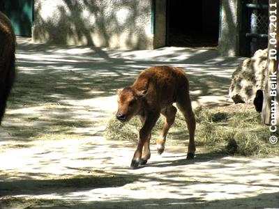 Maaama, wart auf mich! Bison-Baby, einen Tag alt, 10. April 2011
