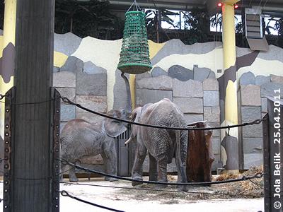 Sie muss sich ordentlich strecken! Mongu, 25. April 2011