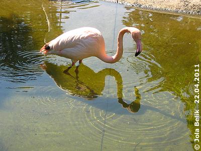 Und die Flamingos sind glücklich, dass sie wieder draußen sein dürfen, 22. April 2011