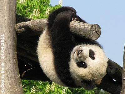 ... auf einem Baum herum baumeln! Fu Hu 24. April 2011