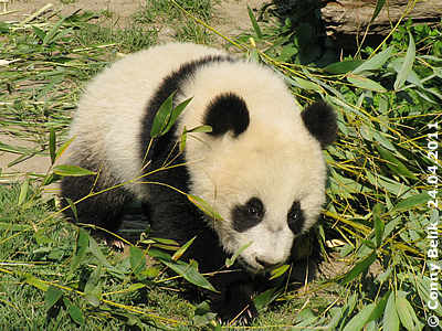 Pandabub Fu Hu, acht Monate alt, 24. April 2011