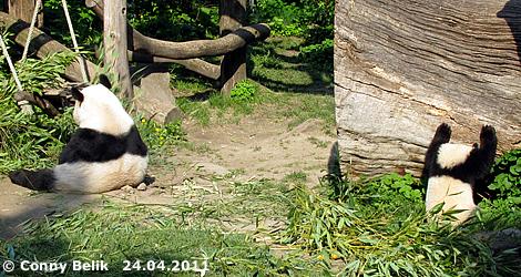 ... nur manchmal ... ein bissi! Fu Hu (re) und Yang Yang (li), 24. April 2011