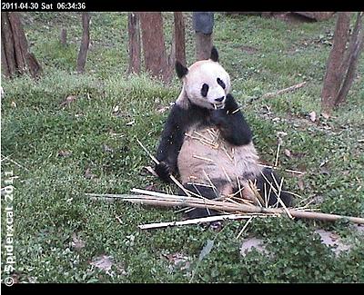 Fu Long in Bi Feng Xia, 30. April 2011 (Screenshot von Pandacam)