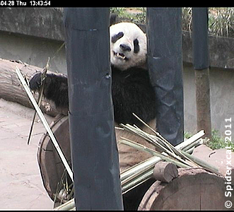 Fu Long, 28. April 2011 (Screenshot von Pandacam)