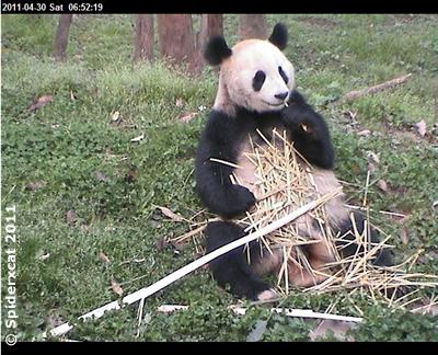 Fu Long bei seiner Lieblingsbeschäftigung in Bi Feng Xia, 29. April 2011 (Screenshot von Pandacam)
