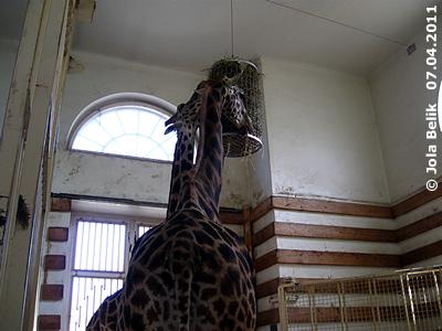 Neues (?) Enrichment bei den Giraffen, 7. April 2011