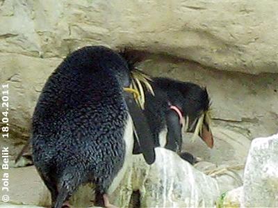 Das erste Felsenpinguin-Baby, wenige Tage alt, ist schon zu sehen, 18. April 2011