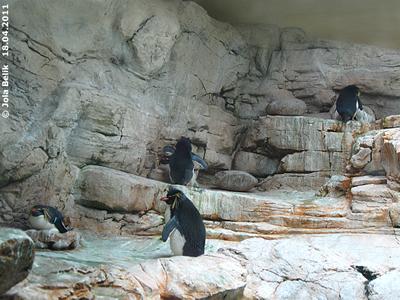 AUch heuer dürfte es etliche Felsenpinguin-Babys geben, überall wird gebrütet, 18. April 2011