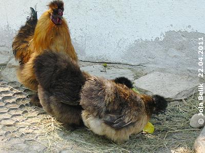 Seidenhühner, 22. April 2011