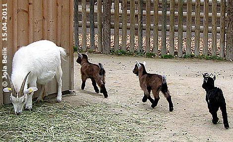 Die Zwerg-Ziegen-Drillinge, 15. April 2011