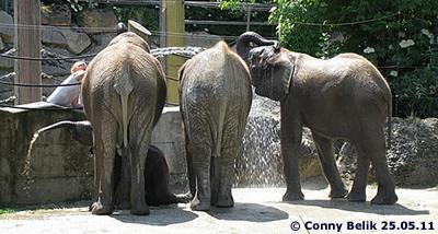 Gemeinsam Duschen ist lustig! Tuluba, Numbi (li), Mongu (mi), Kibo (re), 25.05.11