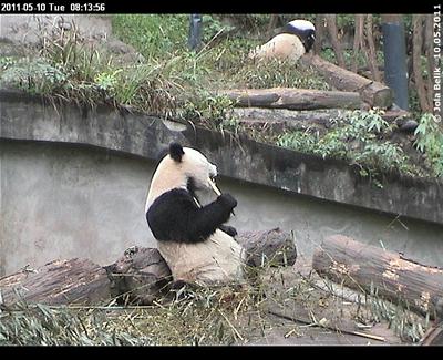 Fu Long (vorne) und Zhen Zhen (hinten), 10. Mai 2011