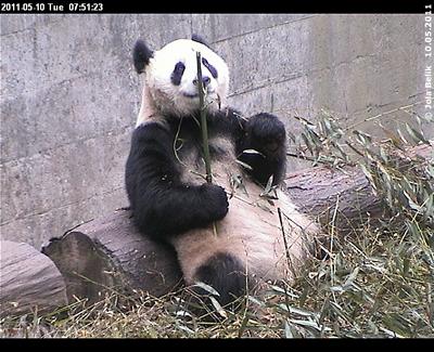 Fu Long bei seinem Frühstück in Bi Feng Xia, 10. Mai 2011