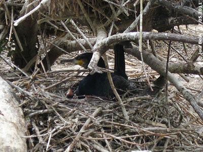 Der allerjüngste NAchwuchs ist erst wenige Tage alt, ein kleiner Schreihals im untersten Nest bei den Kormoranen, 17. Mai 2011