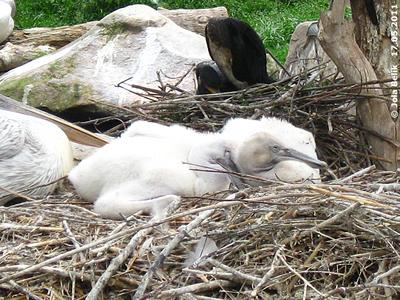 Die Zwillinge bräuchten ein größeres Nest! Pelikane, 17. Mai 2011