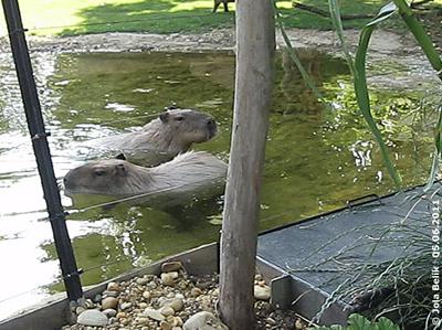 Capybaras bei iihren täglichen Schwimmrunden, 5. Juni 2011