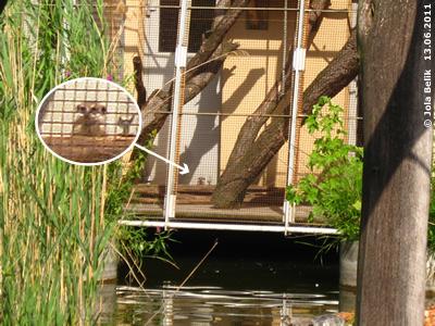 Eines der Erdmännchen im Exil (Rückseite des Gibbon/Katta-Hauses), 13. Juni 2011