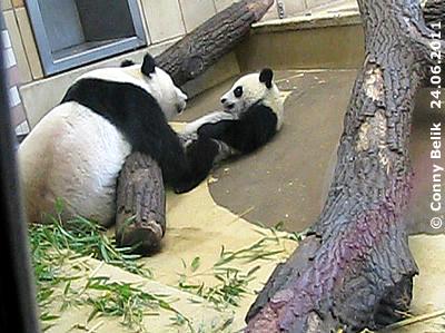"""... doch irgend wann wird es der gutmütigsten Mama zu viel: """"Kind, es reicht!"""" Dieser Blick sagt alles. Yang Yang (li) und Fu Hu (re), 24. Juni 2011"""