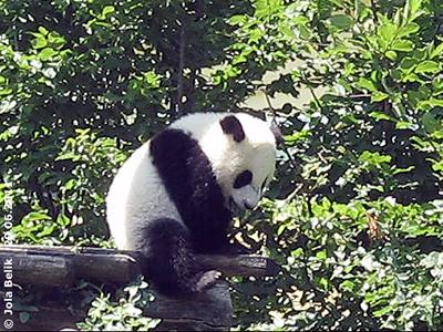 ... und weiter geht's zum nächsten Baum, Fu Hu, 10 Monate alt, 29. Juni 2011