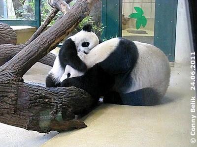 ... schlafen kann Yang Yang auch nicht ...