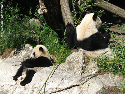 Pandababy Fu Hu und Mama Yang Yang, 7. Juni 2011