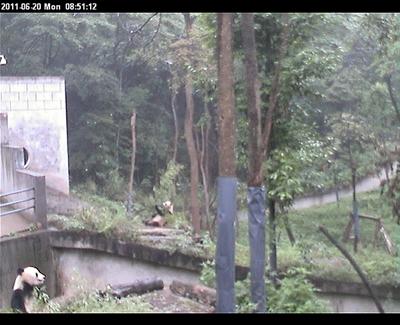 Fu Long (li) und Qing Qing, die neue Nachbarin (re), Bi Feng Xia, 20. Juni 2011 (Screenshot Pandacam)