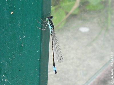 Auch eine Libelle braucht mal eine Pause! 5. Juni 2011
