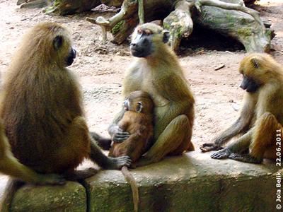 Finger weg von meinem Baby! Paviane, Tiergarten Nürnberg, 22. Juni 2011