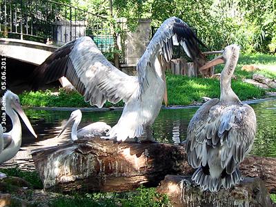 Geh bitte, paß doch auf! Pelikane, 5. Juni 2011