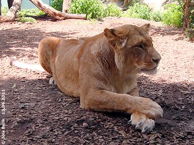 ... wenn man bloß das Glas zwischen uns verschwinden lassen könnte! Löwenmama Somali, 13. Juni 2011