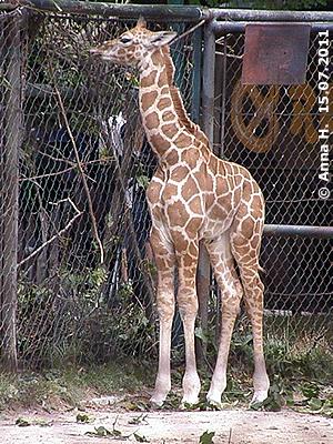 Giraffenbub Arusha, 15. Juli 2011