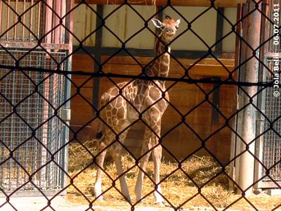 Irgendwie ist das Fell noch etwas zu groß für das kleine Zwergerl, Arusha, 6. Juli 2011