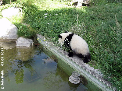 Pandababy Fu Hu, ein Jahr alt, 2. September 2011