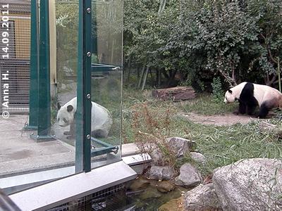 Yang Yang und Long Hui gemeinsam in der Außenanlage, 14. September 2011