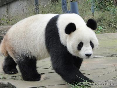 """""""Unser"""" Fu Long, ein fescher Pandabub! Bi Feng Xia, 23. September 2011"""