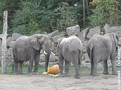 Auch Tonga (li), Mongu (Mitte) und Drumbo (re) fanden den Kürbis lecker! 18. Oktober 2011