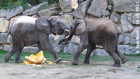 Weg da, das ist meins, meins, meins! Mongu (li) und Kibo (re) mit den Resten den Kürbisresten, 18. Oktober 2011