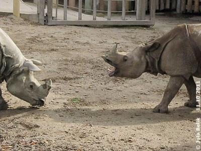 Es blieb wieder mal nur beim Brüllen und Rangeln! Jange (li) und Sundari (re), 11. Oktober 2011