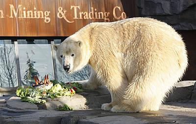 Eisbärbub Nanuq mit seiner Torte, 28. November 2011 (Foto: Zoo Hannover)
