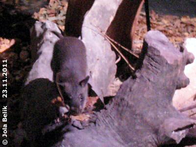 Riesenhamsterratte, 23. November 2011