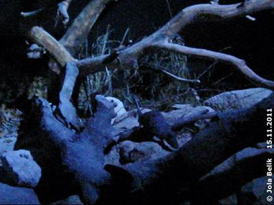 """... die Riesenhamsterratte im """"Mondlicht"""" im Rattenhaus, 15. November 2011"""