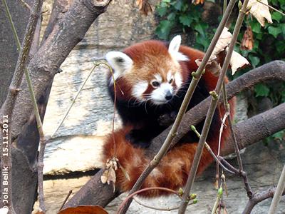 Wird sich Fu Hu für die neuen Nachbarn interessieren? Eines der beiden Roten Pandas ind er alten Anlage, 15. November 2011