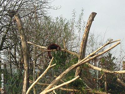 Roter Panda, 18. November 2011