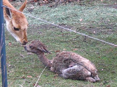 Hallo, kleines Zwergerl! Mama von Baby # 1 begrüßt liebevoll das Neugeborene, 15 Minuten alt, 30. November 2011